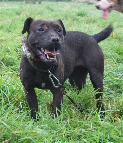 zidaho dogs labrador retriever corso hybrid dogs breeds picture