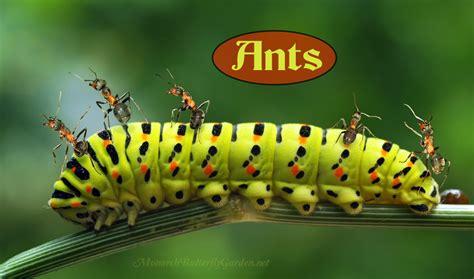 Caterpillar Predator 13 monarch predators save more monarch butterflies