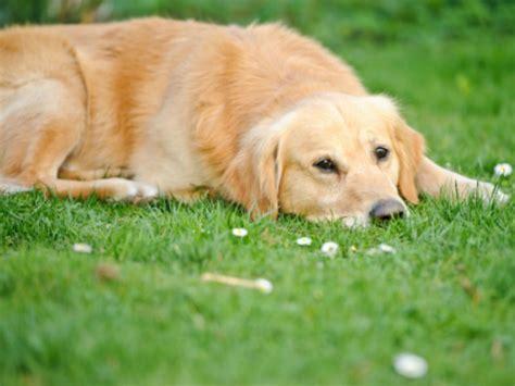 thyroid disease in dogs thyroid disease in dogs gensol diagnostics