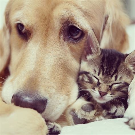 golden retriever and cats tabby cat and golden retriever are best buddies inrumor inrumor