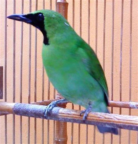 Lu Spektrum Untuk Burung peluang usaha top cara beternak cucak ijo