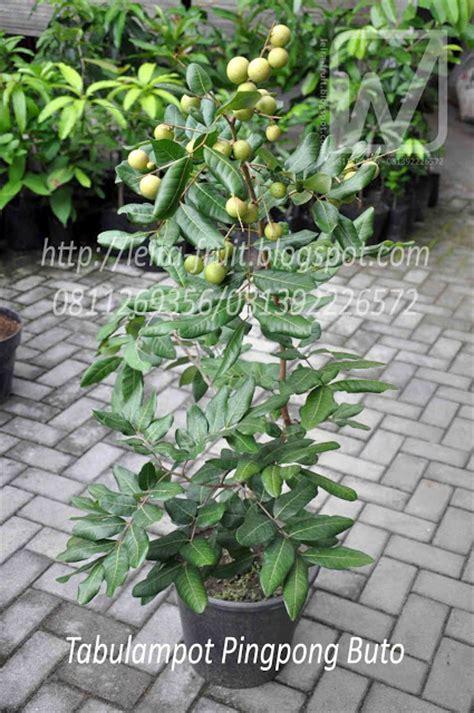 media tanam  tanaman buah  pot tabulampot