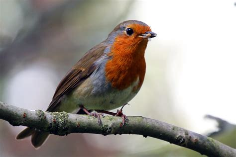 file european robin erithacus rubecula jpg wikimedia