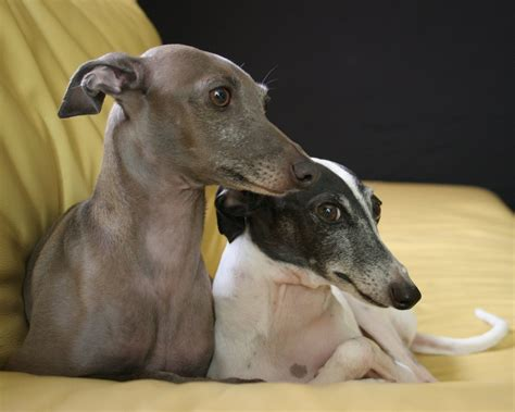 italian dogs italian greyhound all small dogs wallpaper 14497119 fanpop