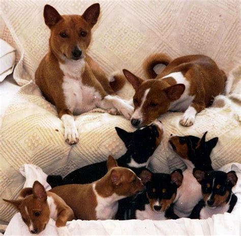 basenji puppy cost basenji puppy puppies puppy
