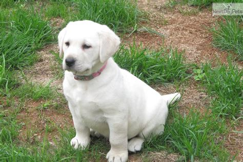 lab puppies for sale in illinois labrador retriever puppy for sale near chicago illinois a1a89178 9ce1