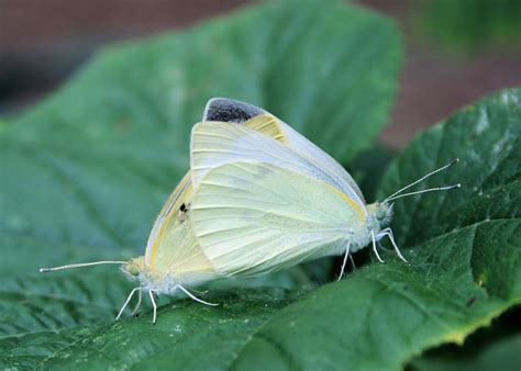 Buttering Flutterbies 2 by Hoot Owl Karma You Noticed The Butter Colored Flies