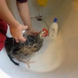 comment laver et s 233 cher votre poule prendre soin de vos