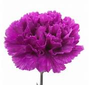 Home &gt Carnations Purple Carnation