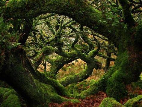 nienhagen wood alemanha wistman s wood dartmoor devon england via old moss