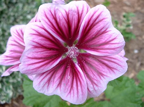 geranium top flowers top flowers wallpaper