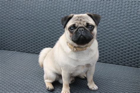 pug teddy teddy the pug for stud apricot proven york pets4homes