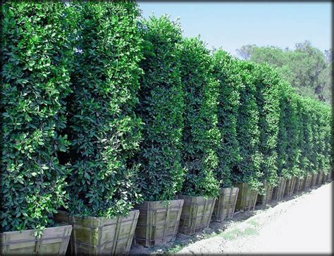 ficus nitida hedge ficus nitida columns make great large privacy hedges