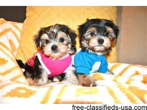 teacup yorkie breeders in md teacup yorkie puppies ready animals oakland maryland announcement 39944