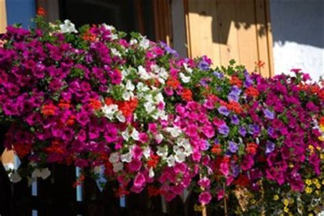 balconi fioriti in estate gravina al via balconi fioriti e mercante in fiore