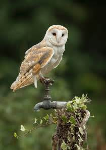 what is the barn owls scientific name photographs of barn owls