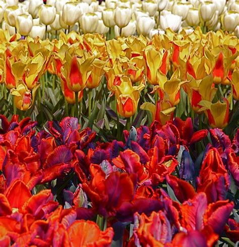 Mukena Bunga Tulip Green 1000 images about tulips on indigo green and ranunculus