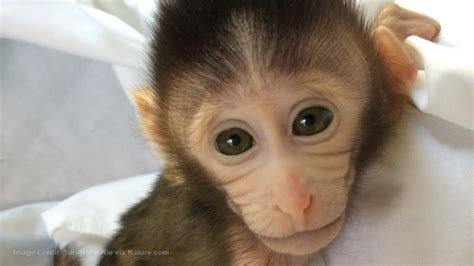 latest science horror baby monkeys genetically engineered  suffer  autism symptoms