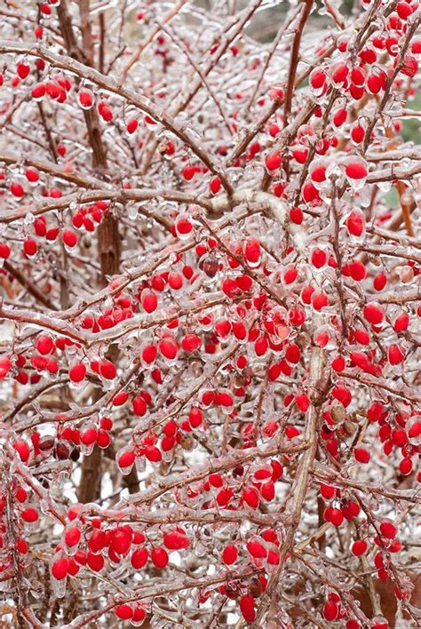 ice covered berries winter time pinterest