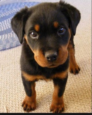 best food for rottweiler best food for rottweiler puppies daily discoveries