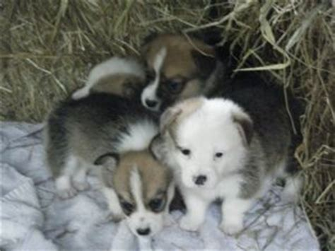 corgi puppies for sale washington pembroke corgi puppies for sale