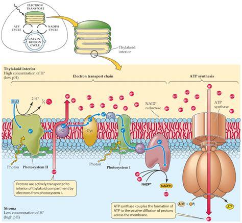 chemiosmosis   mechanism  atp production