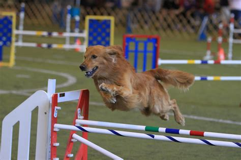 puppy agility agility www imgkid the image kid has it