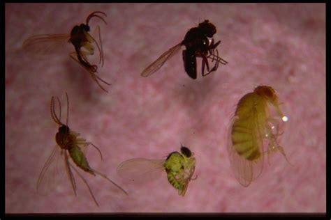 bexar county entomology gnats driving you crazy