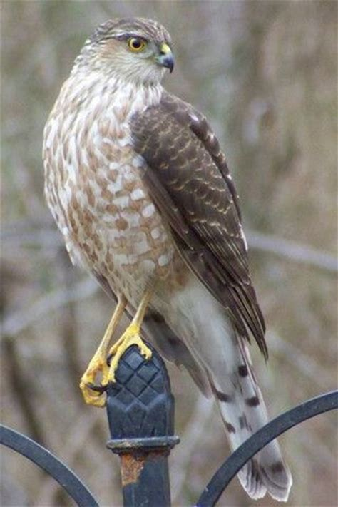 21 best coopers hawk images on pinterest birds of prey