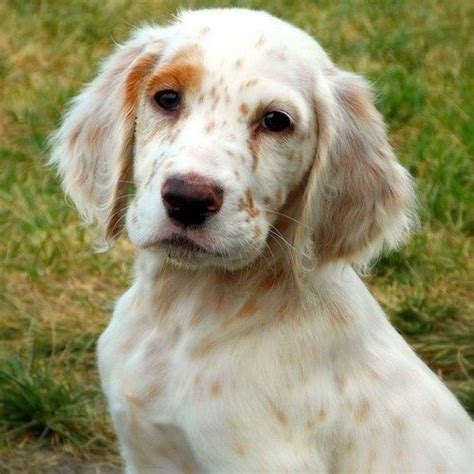 setter puppies ohio 17 best images about designer dogs puppies on poodles shar pei mix and