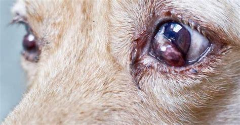 conjunctivitis in dogs recurrent conjunctivitis symptom petpremium