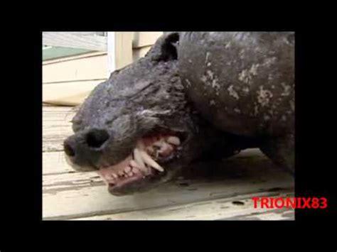 imágenes impresionantes de criaturas y monstruos reales monstruos reales encontrados en el mundo el chupacabras