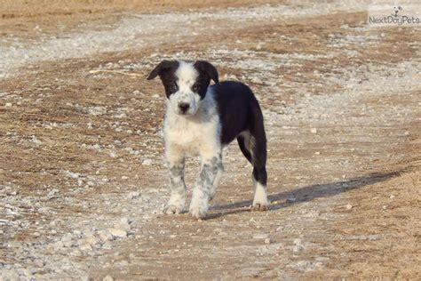 puppy spot breeder login spot border collie puppy for sale near springfield missouri 05864b25 7231