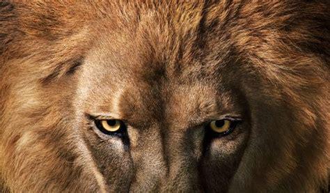 imagenes de leones las mejores reportaje la mirada orgullosa del le 243 n el pa 205 s semanal