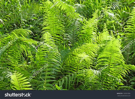 fern plants tropical rainforest stock photo 132591836