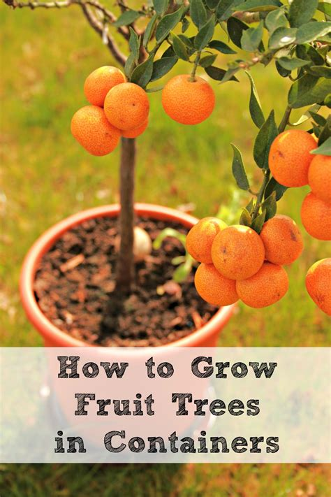 fruit tree growing how to grow fruit trees in containers herbs and oils hub