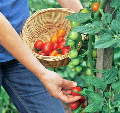 pflanzen f r wohnung tomaten ernten tomaten ernten zeit sich zu belohnen