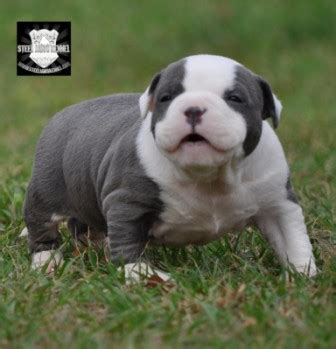 pocket pitbull puppies blue pitbulls american bully pitbull puppies steel jaws kennel florida kennel