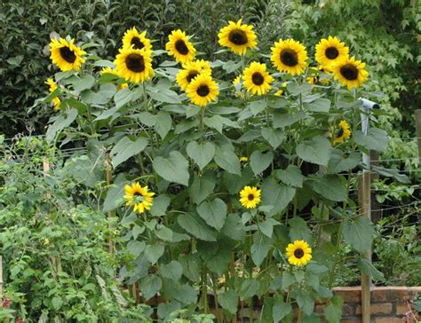 Sunflower Garden Ideas Best 25 Sunflower Garden Ideas On Pinterest Growing Sunflowers Planting Sunflowers And