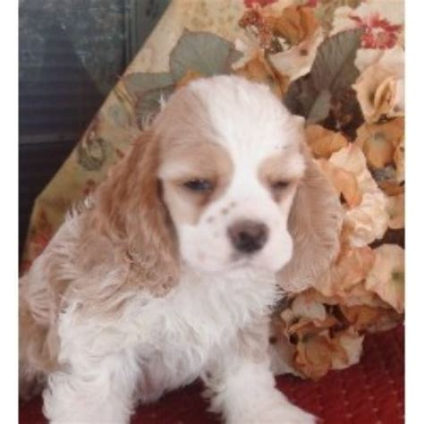 cocker spaniel puppies for sale in wisconsin cockers american cocker spaniel breeder in danielsville