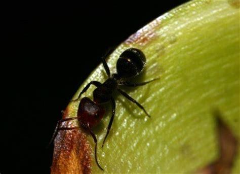 Ant In Vegetable Garden Getting Rid Of Ants In A Vegetable Garden Thriftyfun