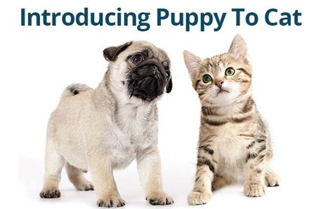 introducing a puppy to a cat socialization archives puppy