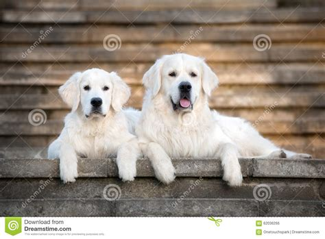 golden retriever stairs two golden retriever dogs lying on the stairs stock photo image 62036266