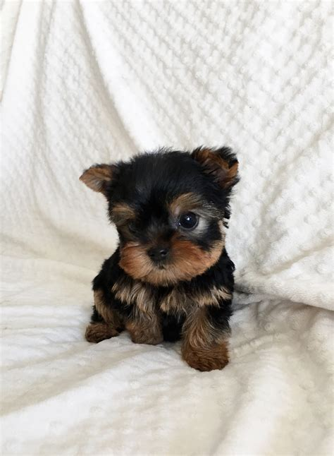 teacup teddy yorkie iheartteacups we beautiful and tiny teacup and micro mini sized tea puppies for