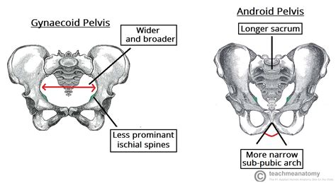 android pelvis the pelvic girdle structure function assessment teachmeanatomy