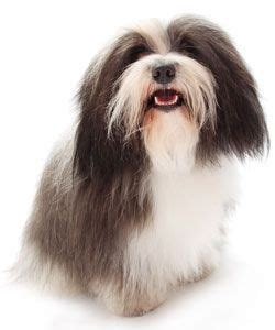 havanese vs coton de tulear 40 best images about happiness is a havanese on rainbow bridge pets and