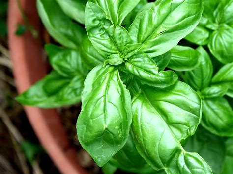 Light Green Color by Free Picture Sweet Basil Plant Terracotta Ceramic Pot