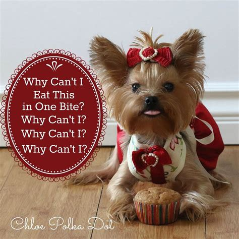 how to make yorkie cupcakes 403 best images about dressed up yorkie on terrier yorkie