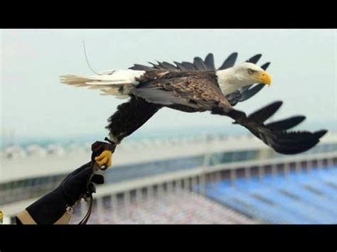 hels american eagle ori challenger the free flying bald eagle aef