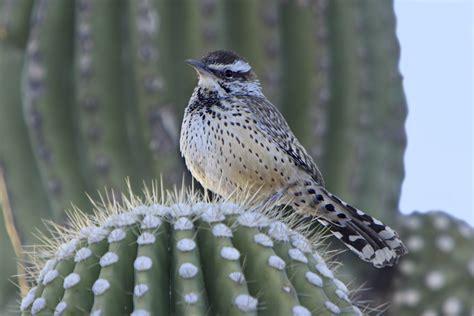 file cactus wren on a saguaro cactus jpg wikimedia commons